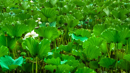 nelumbo nucifera: Close up of lotus nelumbo nucifera and leaves in a pond