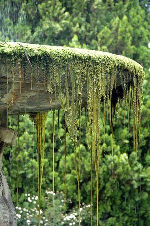 alga: hanging alga