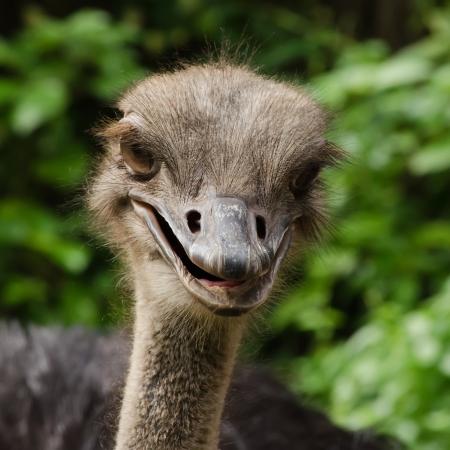 mirthful: Happy ostrich