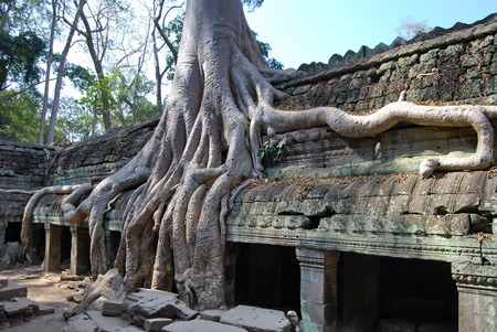 massy: Doubling of roots  Ta Prohm temple  Stock Photo