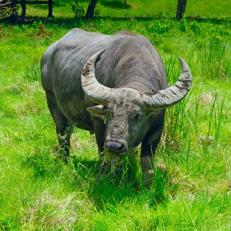 buffalo grass: Buffalo eats grass Stock Photo