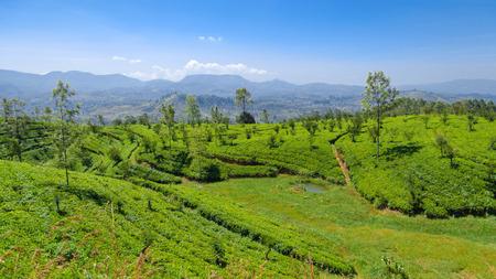 incubate: Tea plantations Stock Photo