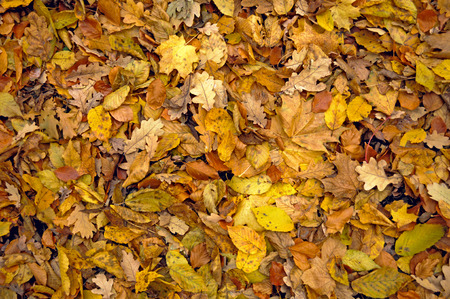 sear and yellow leaf: The withered leaves of autumn