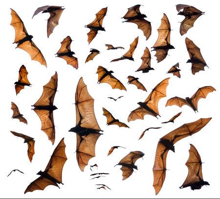 varmint: Flying foxes