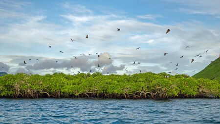 Flying foxes on the background of mangroves. Indonesia Komodo