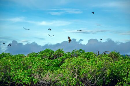 Flying foxes on the background of mangroves. Indonesia Komodo Banque d'images - 132113497