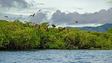 Flying foxes on the background of mangroves. Indonesia Komodo Banque d'images