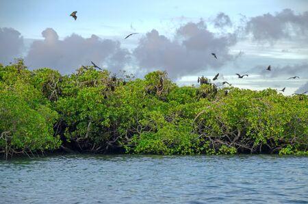 Renards volants sur fond de mangroves. Indonésie Komodo Banque d'images