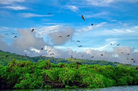Flying foxes on the background of mangroves. Indonesia Komodo Banque d'images - 132113646