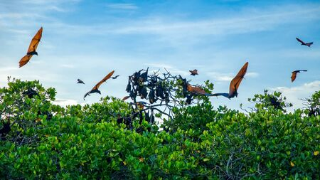 Renards volants sur fond de mangroves. Indonésie Komodo