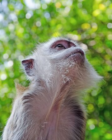 Young Monkey (macaque) look up.