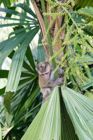 Baby monkey on a palm tree. 版權商用圖片