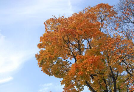 yello: Yello maple on blue sky