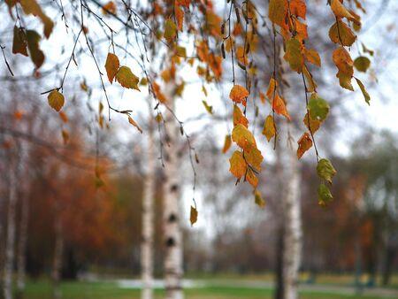 Birches photo