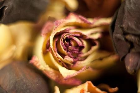dry flower - bud rose