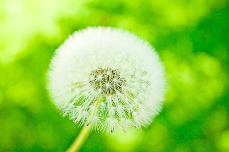 withe downy dandelion on green blackground