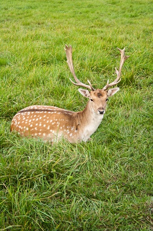 male deer rest on green grass Stock Photo