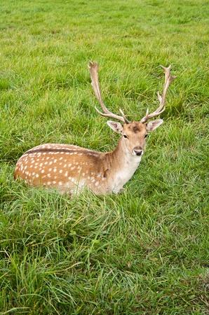 male deer rest on green grass Stock Photo