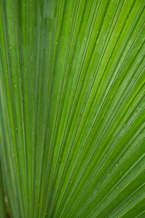 ccloseup: cclose-up palm tree leaf with drop water