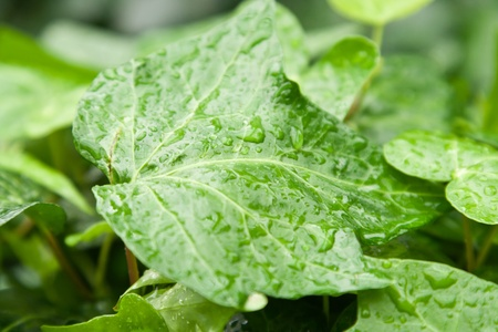 ccloseup: cclose-up green leaf with drop water Stock Photo