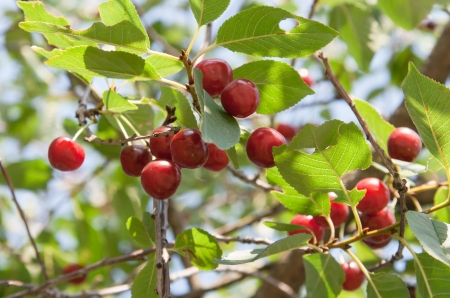 fresh red berry of cherry on plant photo
