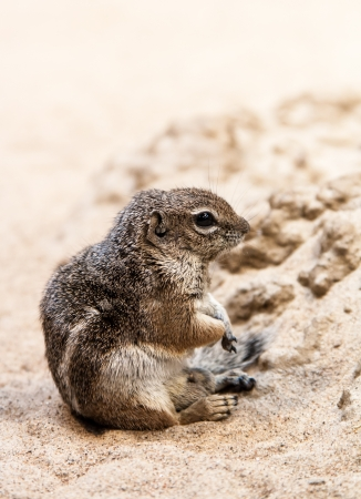 anthropomorphism: one small ground squirrel sit at sand Stock Photo