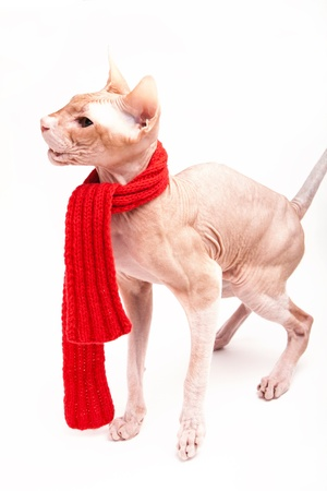 housepet: pet cat sphinx warm with red scarf