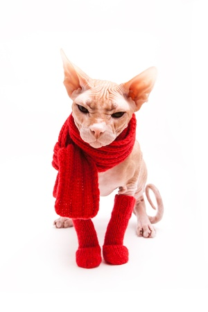 pet cat sphinx warm with red scarf and socks Stock Photo