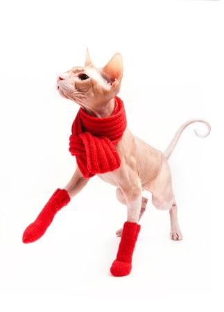 housepet: pet cat sphinx warm with red scarf and socks Stock Photo