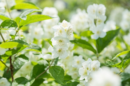 jasmine bush: white flowers jasmine on green plant