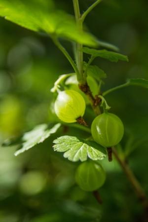 gooseberry bush: green goosberry on twig with fuzzy leaf