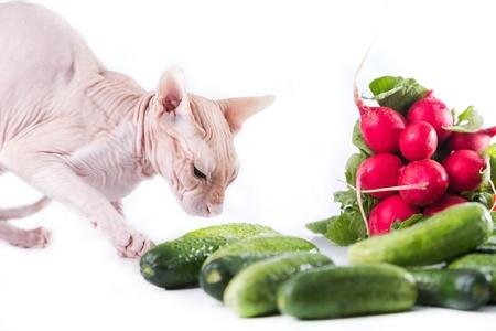 кошка сфинкс едят свежие огурцы Фото со стока