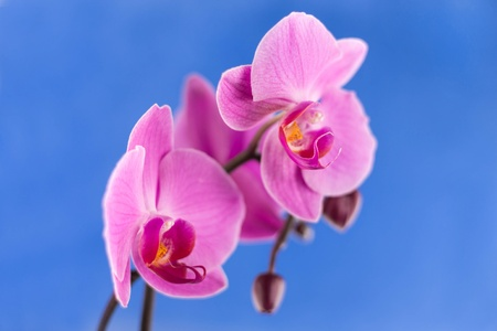 fresh flower orchid on color blue background photo