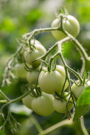 hotbed: fresh green tomatoes in hotbed