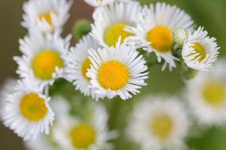 convolute: small convolute flowers of camomile in garden