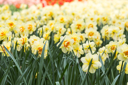 narcissist: bright colorful flowers narcissists for background, posters, cards Stock Photo