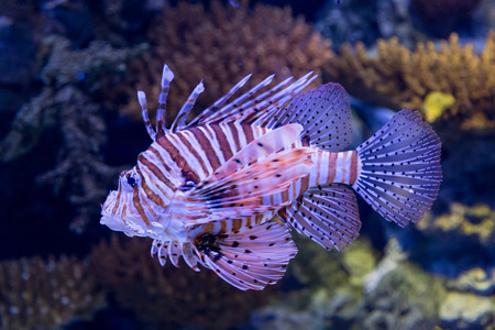 underwater colored lionfish in aquarium with coral reef decoration