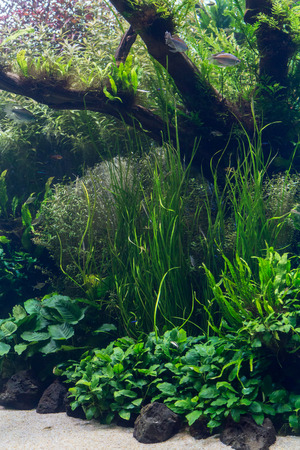 freshwater aquarium fish: aquarium with water-plant, grass, leafs and animals. background for decoration.