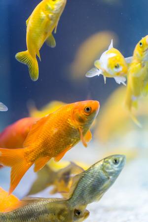 fish tank: colorful decorative fishes in aquarium