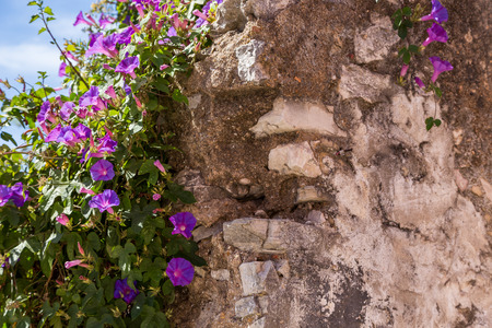 cultivate: bush with violet flowers on wall in sunny summer day