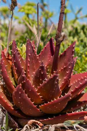aloe vera flowers: close up plant aloe vera with red leafs Stock Photo