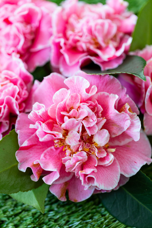 Selrcted garden camellia flower in decor and beauty 写真素材