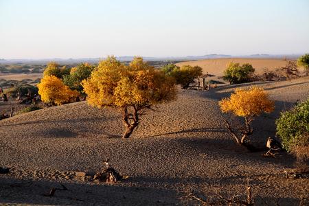 unyielding: Desert Populus