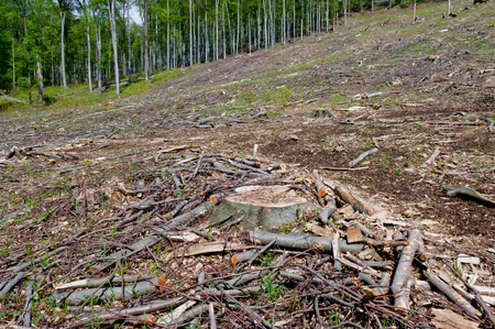 Clearcutting, clearfelling or clearcut logging, beech tree forest