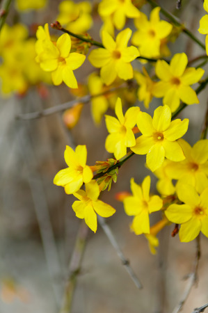 Winter jasmine or Jasminum nudiflorum deciduous shrub blooming with yellow flowers in early spring