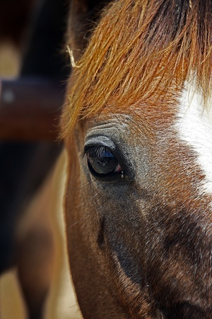Brown horse`s eye with white mark photo