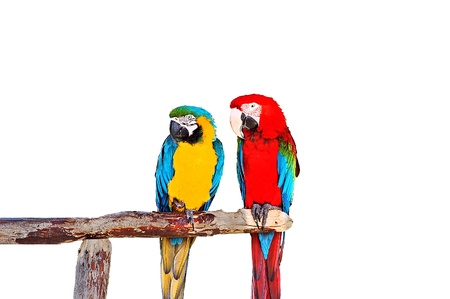 Two parrots sitting on the wood tube photo