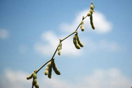 Soybean. photo