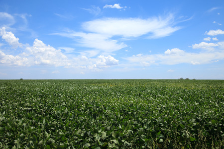 non cultivated land: Soybean planting in sunny day.