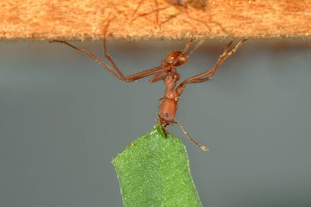 leaf cutter ant: Leaf-cutter ant, Acromyrmex octospinosus, carrying leaf,